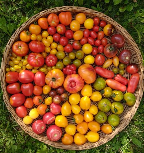 OffeneGartenpforte Tomaten 2019 08 26